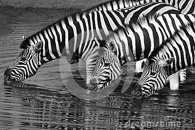 Zebra (equus quagga) - Etosha National Park - Namibia