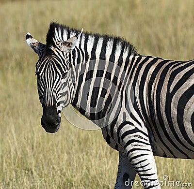 Zebra (Equus quagga) - Khwai River - Botswana