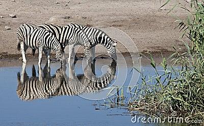 Zebra (Equus quagga) - Namibia