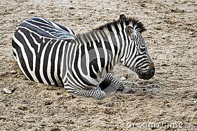 Zebra or Equus quagga resting