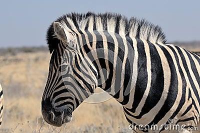 Zebra, Etosha, Namibia