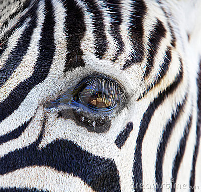 Free Zebra Eye Royalty Free Stock Images - 18937219