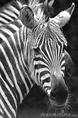 Free Zebra Face Stock Photography - 607372