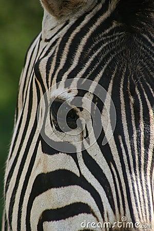 Zebra face