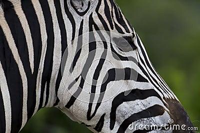 Zebra face profile - photo#14
