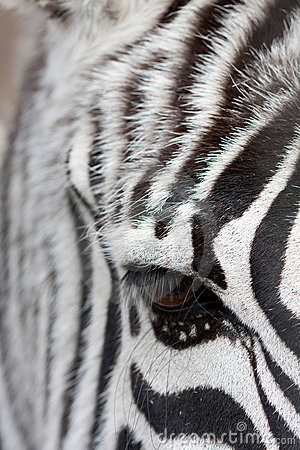 Free Zebra Face To Face Royalty Free Stock Images - 17803989