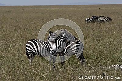 Zebra female
