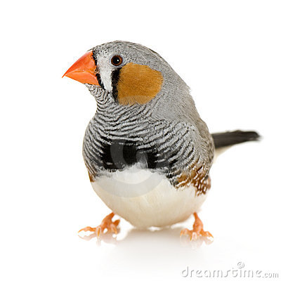 Free Zebra Finch - Taeniopygia Guttata Royalty Free Stock Photos - 3918408