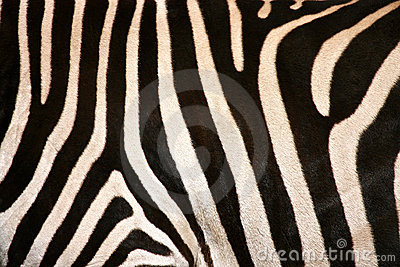 Zebra Flank Stripes