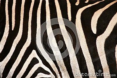 Zebra-Flanke-Streifen