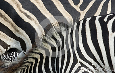 Zebra foal and mare close up