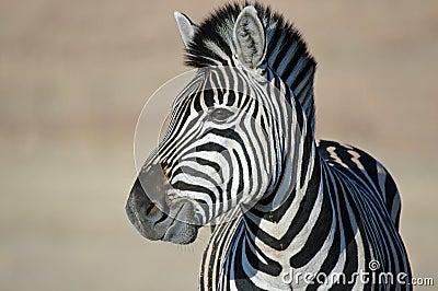 Zebra Gaze.
