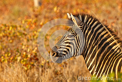 Zebra in golden light