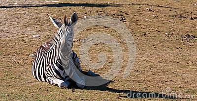 Zebra on the grass