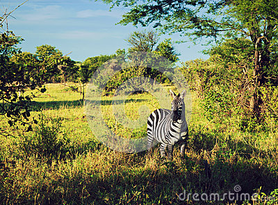 Zebra in grass on African savanna.