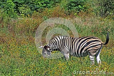 Zebra Grazing in Bushveld