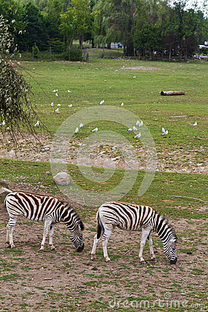 Zebra grazing in the reserve