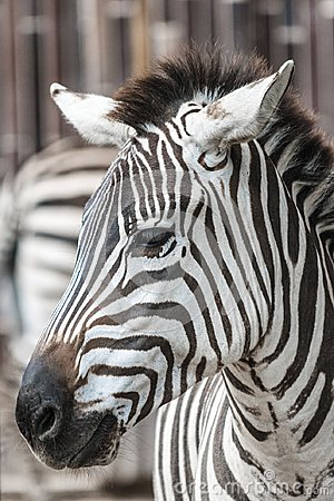 Free Zebra Head Royalty Free Stock Photo - 100391385