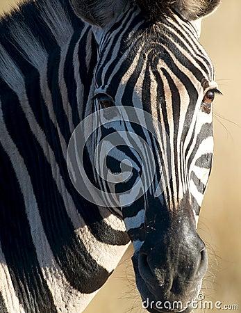 Free Zebra Head Royalty Free Stock Image - 17757306