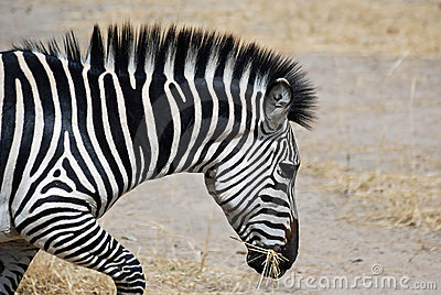 Zebra(head detail) running with dry grass in mouth