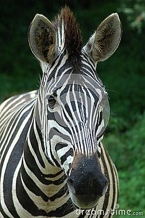 Free Zebra Head Portrait Stock Images - 1602624