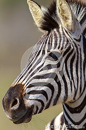 Zebra Head Portrait Alert