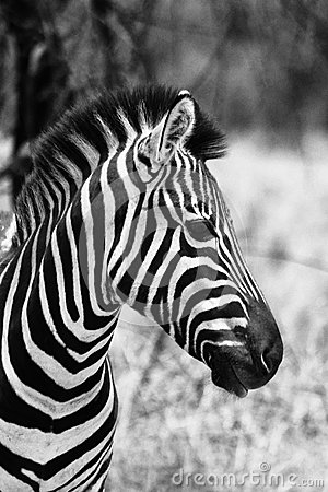 Free Zebra Head Side Profile Picture Black And White Royalty Free Stock Photo - 36132705