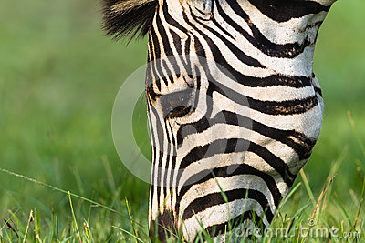 Zebra Head Summer Detail