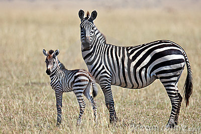 Zebra with her cub stands and looks around