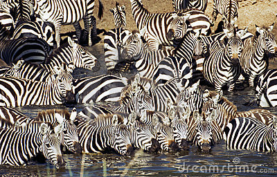 Zebra herd drinking in Serengeti