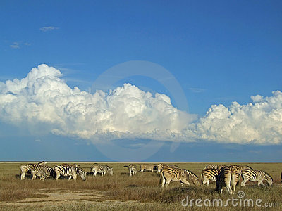 Zebra herd, Etosha National Park, Namibia