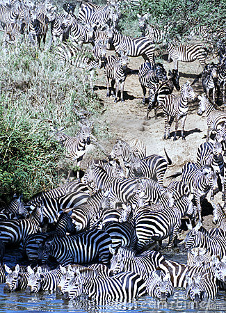 Free Zebra Herd Going For A Drink In Serengeti Stock Photography - 2447872