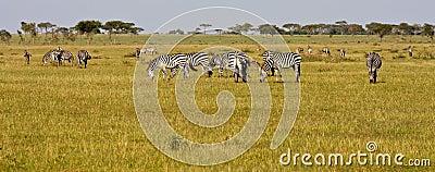 Zebra Herd in Grumeti Reserves