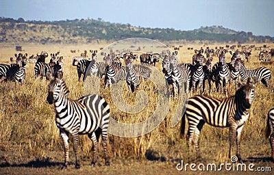 Zebra herd during Serengeti migration