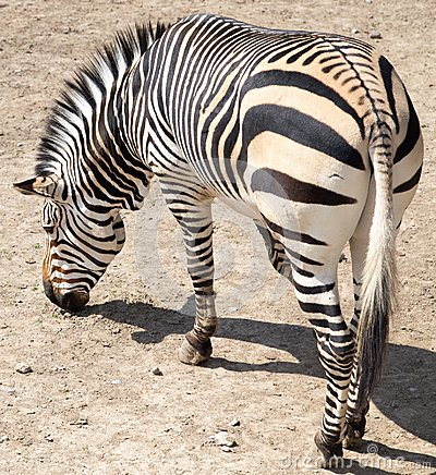 Free Zebra In The Zoo Stock Photography - 102080942