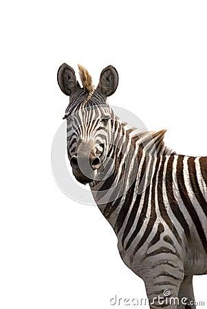 Free Zebra Isolated On White Stock Image - 3096531