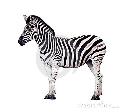 Zebra Isolated On White Royalty Free Stock Photos - Image: 19067748