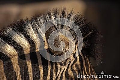 Zebra knot