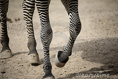 Zebra legs walking