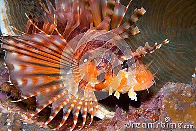 Zebra Lionfish (Dendrochirus zebra)