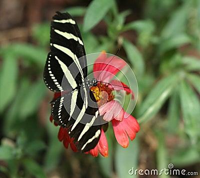 Free Zebra Longwing Stock Photo - 12214220