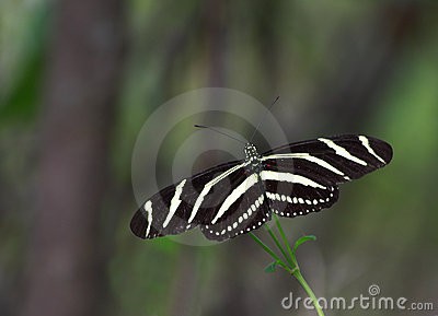 Zebra Longwing Butterfly - 1