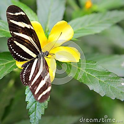 Free Zebra Longwing Butterfly Stock Photo - 20637830