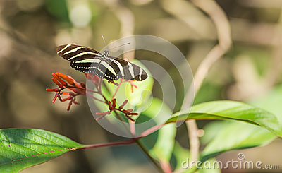 Zebra Longwing Butterfly feeding from flowers Stock Photo