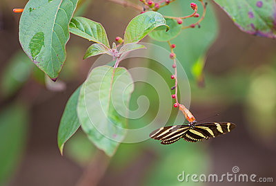 Zebra Longwing Butterfly feeding from flowers