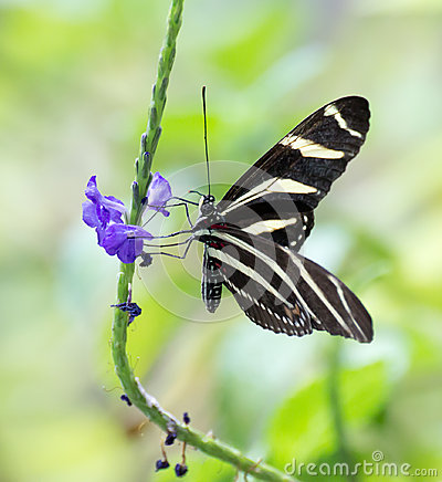 Zebra Longwing Butterfly and Flower