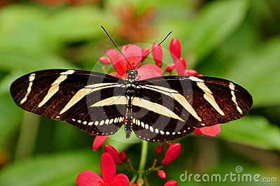 Zebra Longwing Butterfly,Heliconius charitonia