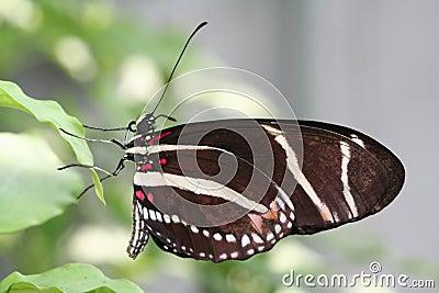 Zebra Longwing macro