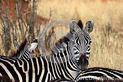 Zebra look