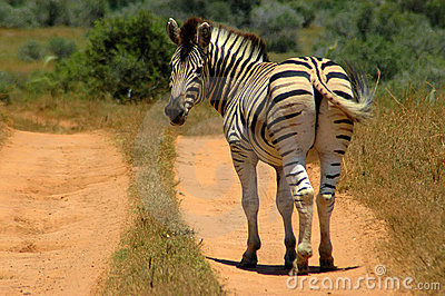 Zebra looking back